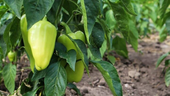 How To Grow Bell Peppers From Scraps In 4 Easy Steps