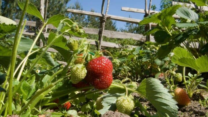 What Do Strawberries Grow On? I See!