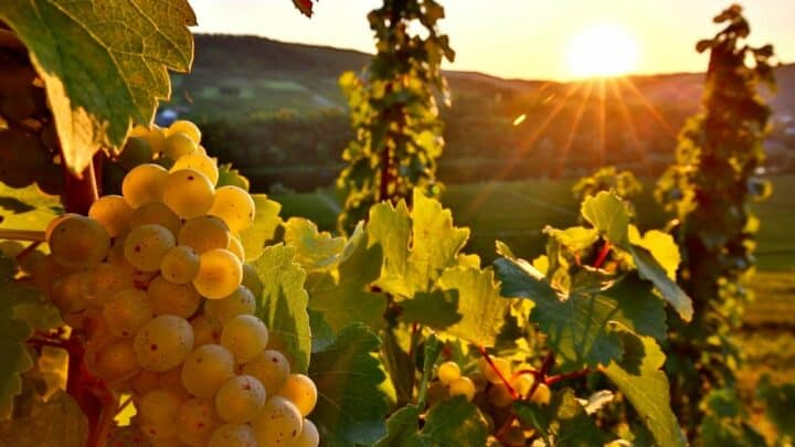 How Far Apart to Plant Grapes — All You Need to Know