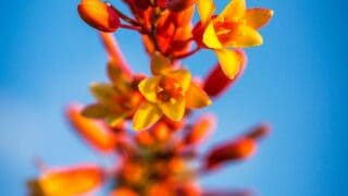 How Fast Does Red Yucca Grow