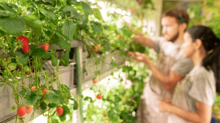 How To Grow Strawberries Hydroponically – The Easy Way