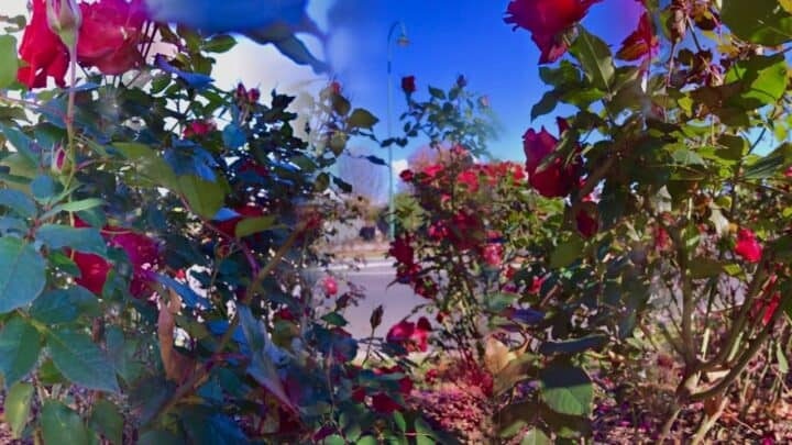 How far apart to Plant Roses? — The Answer