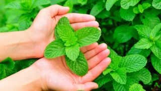 How to Harvest Your Mint Plant Without Killing It
