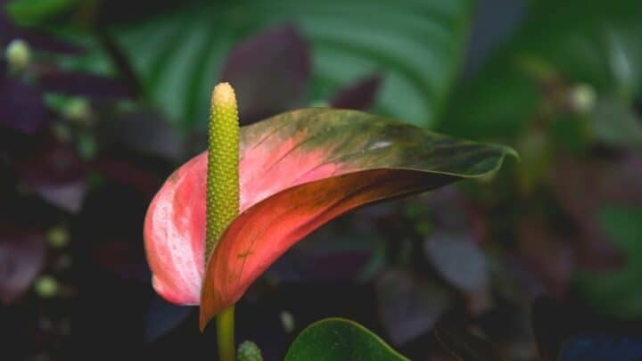 How to Make Anthurium Bloom — Top Tips