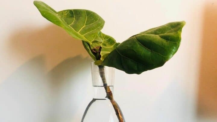 How to Propagate Fiddle Leaf Fig in Water ― In-depth Guide