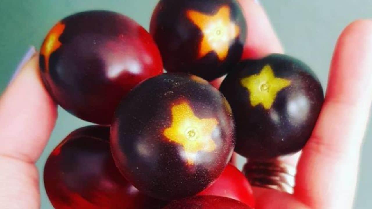 Indigo Ruby Tomato