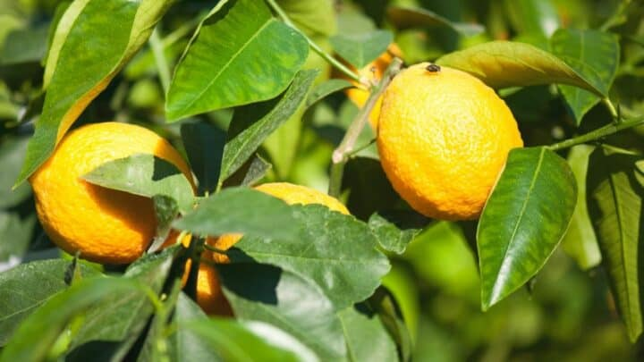 10 Common Reasons & Remedies for Leaf Drop on Lemon Trees