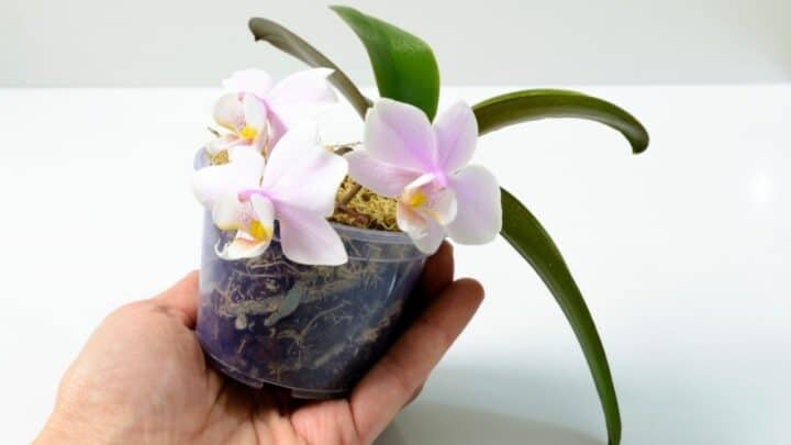 How To Take Care Of A Mini OrchidThe Right Way