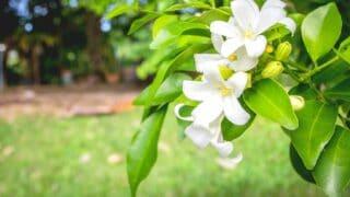 Orange Jasmine Care