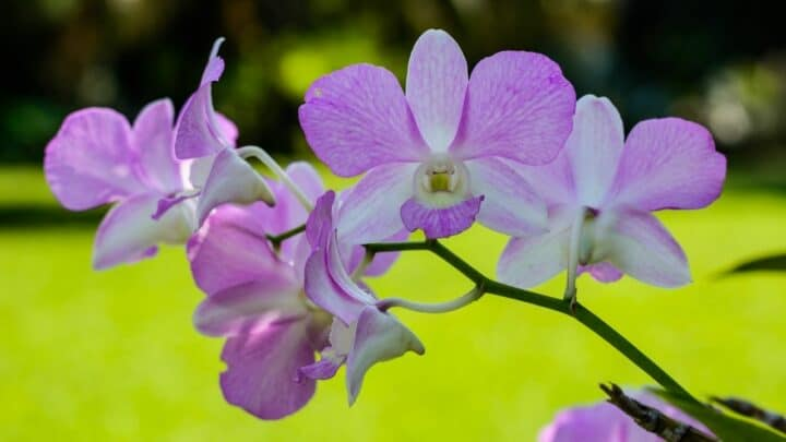 How Long Do Orchid Flowers Live?