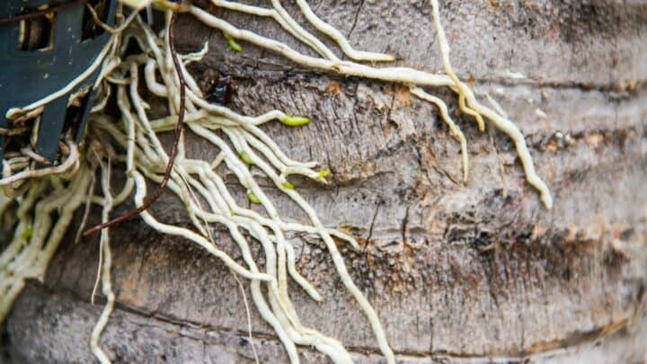 How to Root an Orchid – The Solution