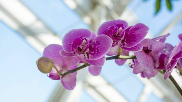 What to Do When An Orchid Stem Turns Brown?