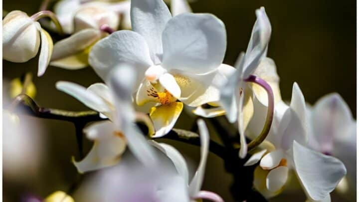 Why Are My Orchid Flowers Falling Off?  6 Reasons!