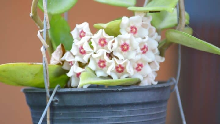 How Can I Tell if My Hoya is Overwatered? — The Answer