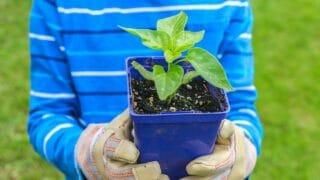 Pepper Plants Not Growing Reasons