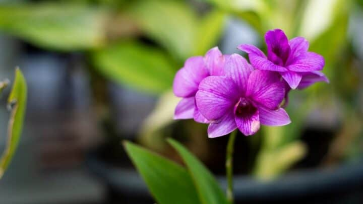 How To Water A Phalaenopsis Orchid The Right Way!