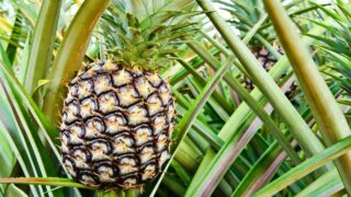 Pineapple Bromeliad Care