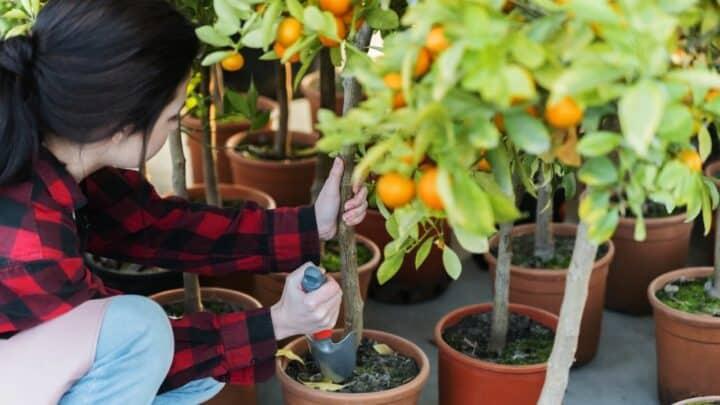How to Plant a Citrus Tree? Easy Peasy!