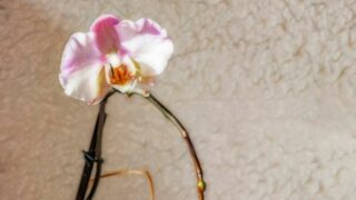 Growing Orchid from Stem