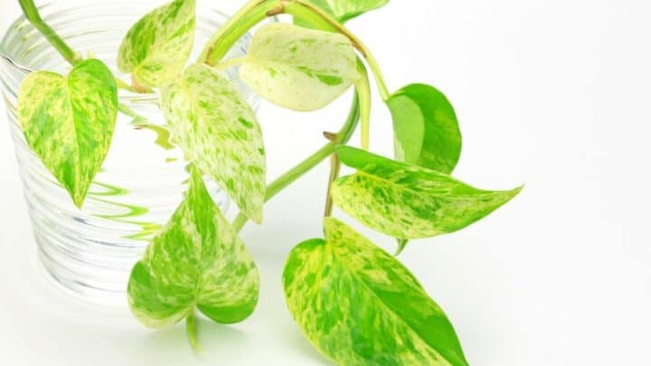How Long for Pothos to Lower Nitrates in an Aquarium? Oh!