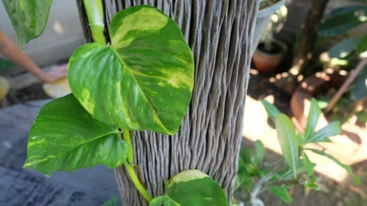 How to Make a Pothos Totem in 7 Simple Steps!