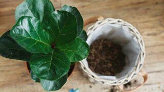 Propagating Fiddle Leaf Fig