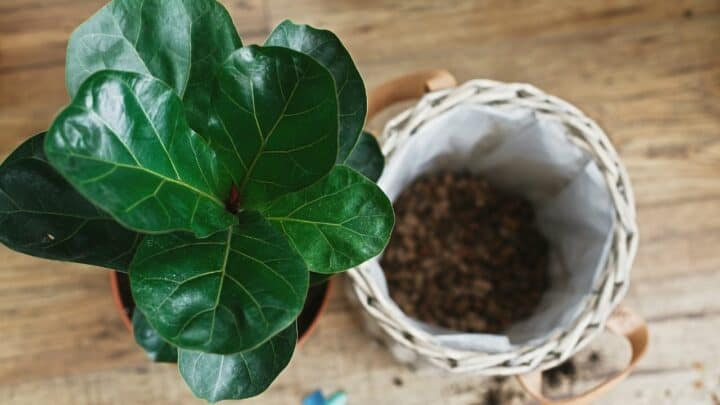 How To Propagate Fiddle Leaf Fig – 3 Easy Ways
