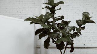 Pruning Fiddle Leaf Fig