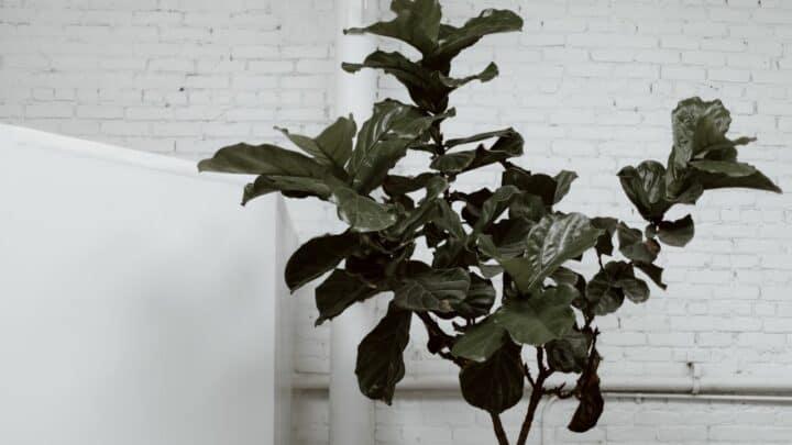 5 Steps How To Prune A Fiddle Leaf Fig Into A Tree