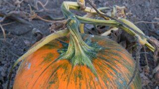 Pumpkin Stem Rot Update