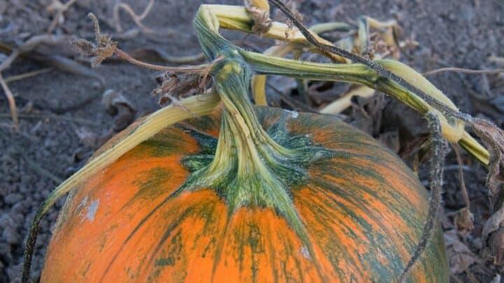 Pumpkin Stem Rot — Identification, Treatment, Prevention