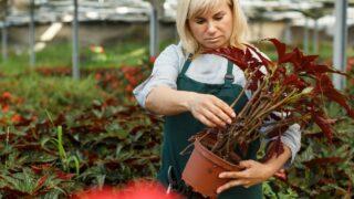 Repotting Begonia