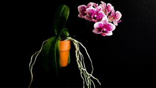 Repotting Orchid With Air Roots