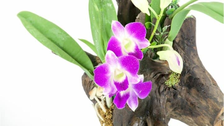 How to Revive an Orchid Without Leaves In 5 Easy Steps!