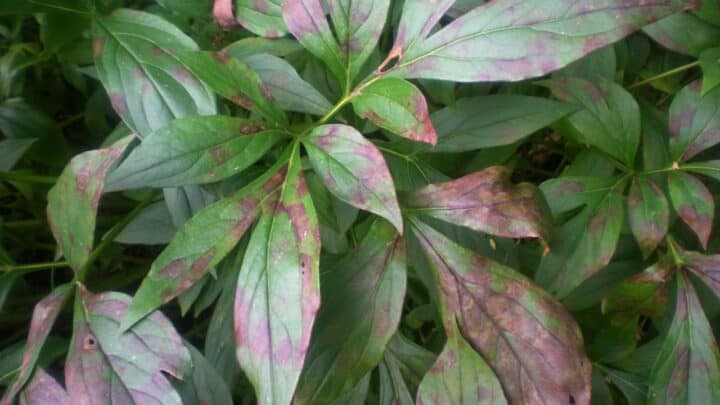 Rust Spots on Leaves – Identification, Treatment, Prevention