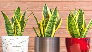 Snake Plant Root Rot