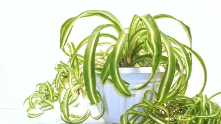 The 4 Main Reasons for Root Rot in Spider Plants — Revealed