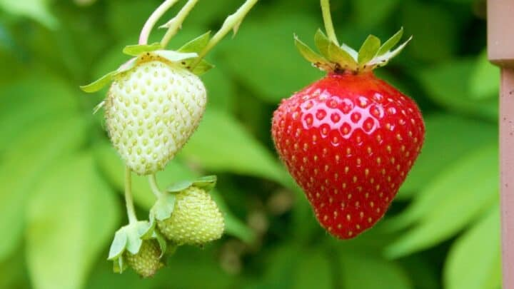 How Long Does it Take To Grow Strawberries? The Answer!