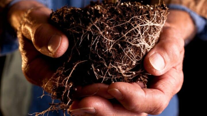 Tomato Root Rot — Identification, Treatment, Prevention