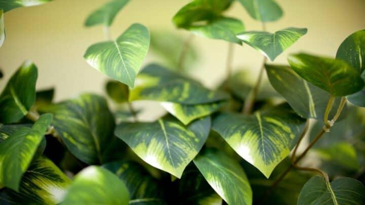 How To Trim Pothos? The 6 Secret Steps