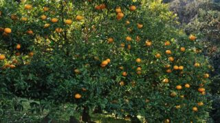 Watering Citrus Trees