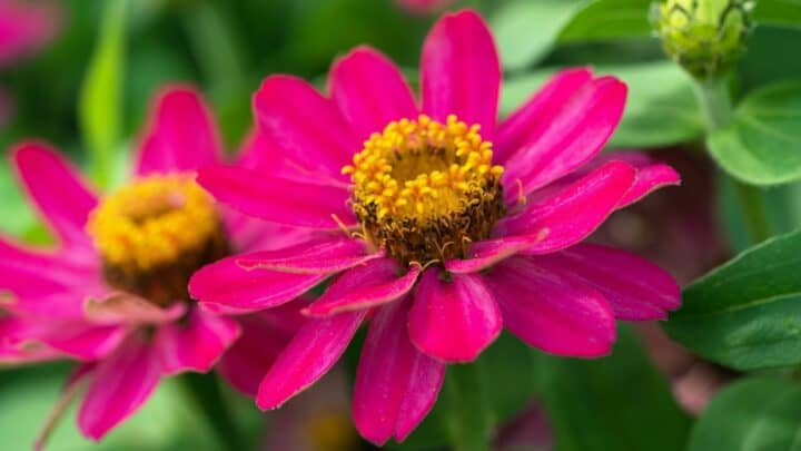 What is Eating My Zinnia Leaves? — Revealed!
