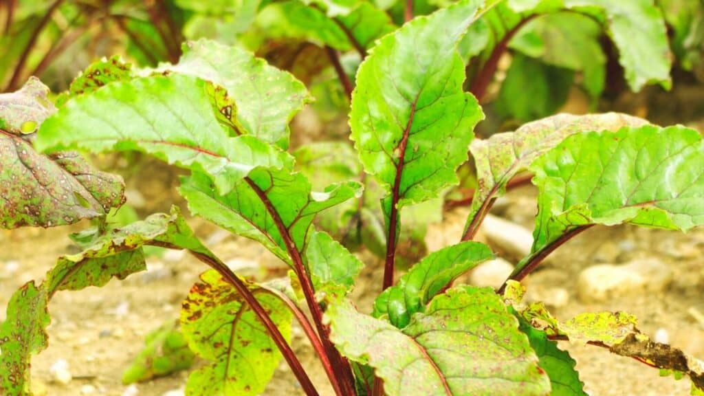 What to Plant in July - Beets