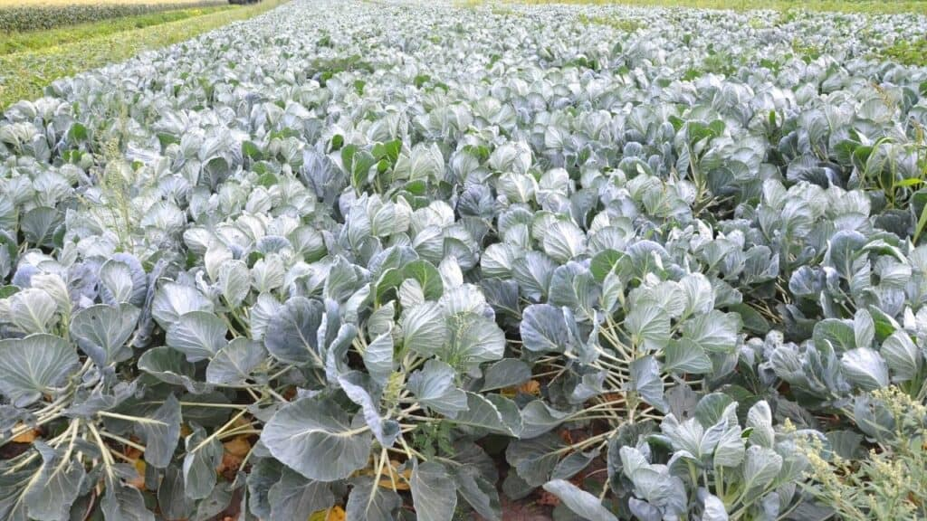 What to Plant in July - Brussels Sprouts