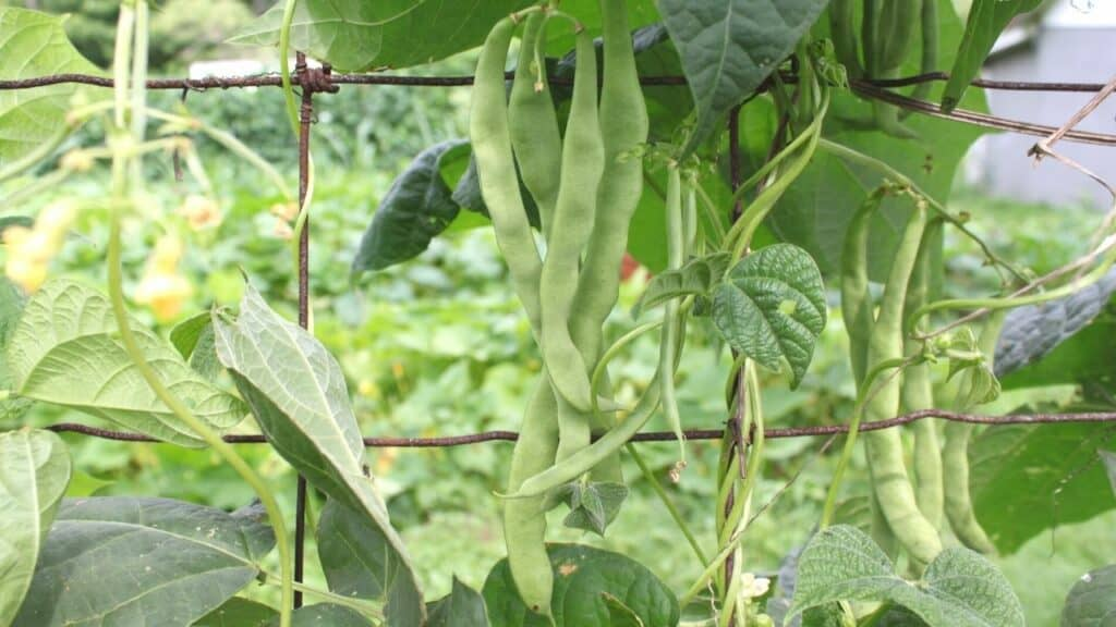 What to Plant in July Pole Beans