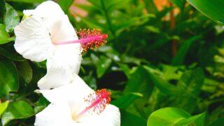 White Hibiscus Care