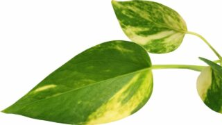 Yellowing Pothos Leaves