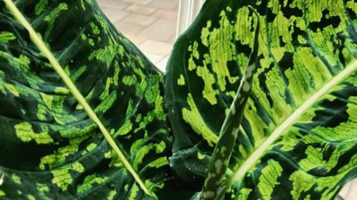 Dieffenbachia Reflector Care ― Your One-stop Guide