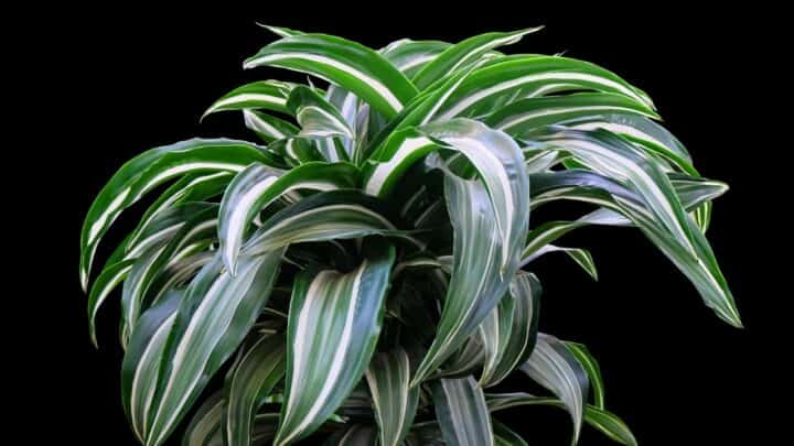 """Dracaena """"Janet Craig"""" Care — Your One-stop Guide"""