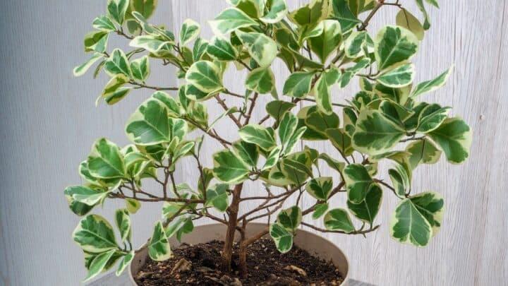 Ficus Triangularis Care — A Full Guide
